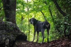 30/52 crest of summer (huckleberryblue) Tags: trees summer dog green gracie hiking hound trail bluetickcoonhound week30 52weeksfordogs