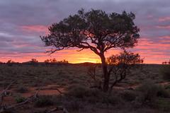 boolcoomatta july 2013 - 7230474 - alectryon (liam.jon_d) Tags: digital landscape australian australia olympus micro outback sa southaustralia 43 omd bha em5 olympusdigital alectryon southaustralian billdoyle salandscape bushheritageaustralia micro43 microfourthirds alectryonoleifolius abhf boolcoomatta bushheritage omdem5 australianbushheritage australianbushheritagefund boolcoomattareserve