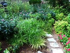 Backyard • 8-17-2013 (Fred Ortlip) Tags: nandina chelone heavenlybamboo pinkturtlehead umbrellagrass babytut cyperusinvolucratis