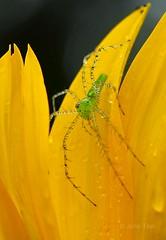 Green Lynx Spider (jupitersnest) Tags: summer nature bug insect spider florida arachnid hunter fl