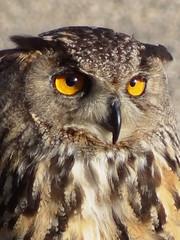 A me gli occhi......please! ;-)) (antonè) Tags: rapace esibizione falconeria borutta rievocazionimedioevali volatile sardegna antonè guforealeeuropeo gufo