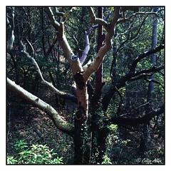 Madrone Tree (Daiku_San) Tags: tree 120 6x6 film mediumformat square ashlandoregon zenzabronicas2 nikkorp7528 kodaknewportra160