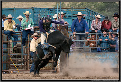 Ridin high (Seeking Nature | Aus) Tags: horses people dusty sports animals cowboys bareback nikon cattle action country australia bull bulls dirty ring riding nsw rodeo bovine bullriding saddle wrestle bronc shute huntervalley steers gresford d7100 thewhiteview