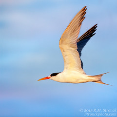 Elegant Tern (Bob Stronck) Tags: avian textured eleganttern sternaelegans ©rmstronck stronckphotocom birdsofsanfranciscobay ©2013rmstronck
