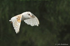 Barn Owl (John Beukeboom) Tags: bird nature netherlands fauna nikon wildlife flight nederland natuur avian barnowl birdofprey vogel tytoalba autofocus kerkuil vliegen roofvogel d3s westernbarnowl mygearandme mygearandmepremium mygearandmebronze mygearandmesilver mygearandmegold mygearandmeplatinum ringexcellence dblringexcellence tplringexcellence flickrstruereflection1 flickrstruereflection2 flickrstruereflection3 flickrstruereflection4 flickrstruereflection5 flickrstruereflection6 johnbeukeboom
