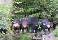 Butts in a row (Silva_D) Tags: park zoo sweden chimpanzee wildlifepark kolmården östergötland djurpark pantroglodytes schimpans apariet