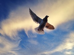 Seagull (H McCann) Tags: sunset sky cloud bird clouds fly wings seagull gull flight wing ciel cielo nubes nuage nuages luft oiseau nube