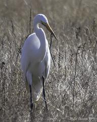 Great Egret with Snake (Bob Gunderson) Tags: california birds northerncalifornia peninsula halfmoonbay greategret egrets sanmateocounty ardeaalba wavecrest