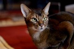 Luke in Portrait (MorboKat) Tags: portrait cat feline usual abyssinian malecat domesticcat ruddy felidae ruddyabyssinian usualabyssinian maleabyssinian