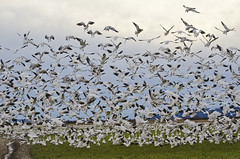 thousand snow gees (SusanCK) Tags: geese snowgeese skagitvalleywashington susancksphoto