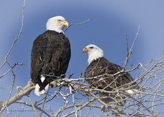 Love Tangle (maryanne.pfitz) Tags: sky tree birds wisconsin wildlife branches baldeagle bluesky perched eagles haliaeetusleucocephalus birdsofprey necedah avianexcellence juneaucounty maryannepfitzinger map33235