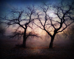 Trees in the fog #3