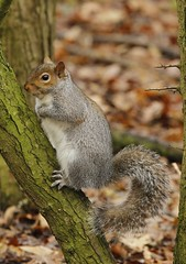 grey squirrel (colin 1957) Tags: nature wildlife canon7d