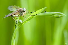 Mouche bcasse. (gille33) Tags: macro nature insect insecte mouche insectes becasse leptis rhagioscolopacea sonydslra700 mygearandme mygearandmepremium mygearandmebronze mygearandmesilver mygearandmegold mygearandmeplatinum blinkagain gillesremus infinitexposure