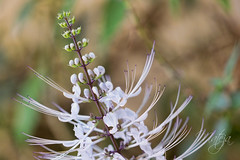 Cat's Whiskers (* mateja *) Tags: travel vacation holiday plant canon flora australia queensland portdouglas mateja catswhiskers