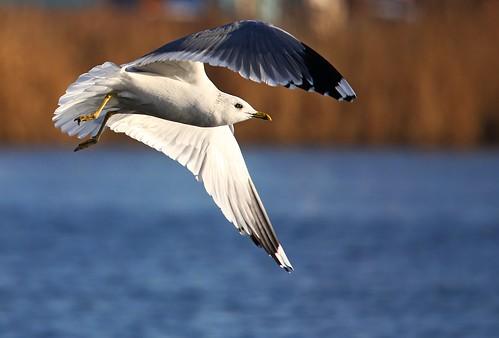 Чайка сизая (larus canus)