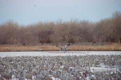 _KEM8012 (Katie Morrow) Tags: nebraska cranes grandisland sandhillscranes