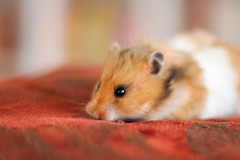 Loðholts Katla (astakatrin) Tags: pet cute beautiful animal yellow golden furry fluffy tortoiseshell calico hamster rembrandt syrian banded longhaired umbrous loðholts horthaired
