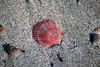 Shell 3 (afloden) Tags: shells beach norway strand no scallops troms lyngen skjell kamskjell