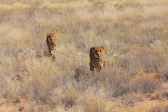 Cheetahs (stephenharvey66) Tags: africa cheetah namibia bigcats solitaire neuras flickrbigcats namibia2014