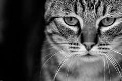 . (Sicong (OFF for a while)) Tags: blackandwhite bw animal cat sony a6000 sal135f18za sonnart18135