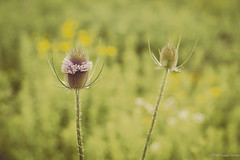 Just Another Bloomin' Tease (ThoughtSusan) Tags: plant teasel prairie dipsacus sciotoaudubon