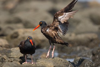 Black Oystercatchers 001