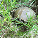 Three-toed Box Turtle, Nesting Female
