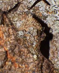 Wasp eggs on sagging Lichen case moth grub Airlie Beach P1140547 (Steve & Alison1) Tags: beach wasp moth case eggs lichen sagging grub airlie