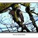 Andreas Kalbow Sperber Accipiter nisus 2017.03.24 (3)