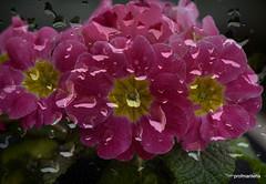 1-Collage72-001 sad primroses (profmarilena) Tags: raindrops primroses pinkprimroses primulerosa macro artwork art collage gocce