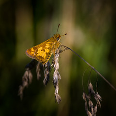 Stalk Sitter (Portraying Life, LLC) Tags: michigan unitedstates butterfly skipper meadow handheld nativelighting insect