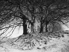 The root of things (Hammerhead27) Tags: nature wiltshire bw monochrome blackandwhite stark shade root bare wood tree