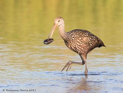 Limpkin with Clam (rosemaryharrisnaturephotography) Tags: limpkin florida water food daytime morning rosemaryharris nature bird wildlife blue canon7dmk11 canon400mmf56seriesllens birdwithfood ngc sure i have correct name npc coth5