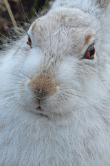 White mountain Hare (Ady G.) Tags: moorland wildlife nature closeup animal bluehare 1d4 1dmarkiv 500f4 canon highlands scotland lepustimidus hare whitehare mountainhare