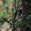 Myiagra rubecula ♂ (Diana Padrón) Tags: leaden flycatcher myiagra rubecula victoria aves bird birds australia gobur flora reserve outdoors nature naturaleza