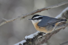 Red-breasted Nuthatch (ethan.gosnell2) Tags: winter ontario canada wildlife nature nuthatch redbreasted sitta canadensis