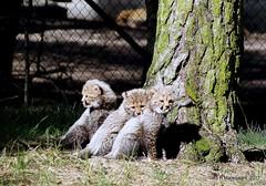 Jonge Cheetahs (ditmaliepaard) Tags: cheetahs safaripark beeksebergen hilvarenbeek dooreenraam 6wekenoud