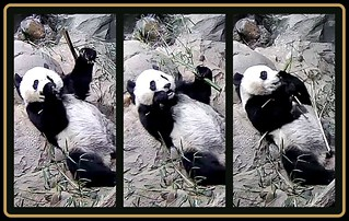 Bei Bei leisurely eats his boo.