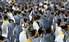 King Penguins (Med Gull) Tags: zegrahm zegrahmexpeditions antarctic