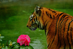 Tigre (the ghost of Matrix) Tags: tigre fiore zoo fujifilm parconaturaviva nikon capture boken animali felino felini finepix s5pro fujifilmfinepixs5pro