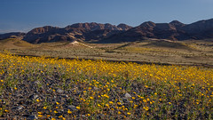 One of Many (Jeffrey Sullivan) Tags: wildflowers desertgold death valley national park spring furnace creek california usa landscape nature photography workshop canon eos 6d road trip photo copyright 2017 february jeff sullivan yellow