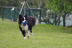 2011_0426_+09 (inmonkey62) Tags: dog flying coin collie pentax border dal bordercollie disc   kx 50300