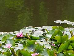 2013.05.22 Water lily Pond (eriko_jpn) Tags: pond waterlily waterlilies pinkflower nympheas pinkwaterlily nymphaeaceae