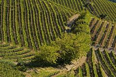 Linee e geometrie (Giuliana 57) Tags: vitigni linee geometrie collinedilanga colline vigneti vigne langhe langa piemonte giulana57 giulianacastellengo nikond5200 patrimoniodellunesco patrimoniodellumanità italia italy