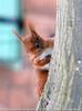 Ecureuil roux - Sciurus vulgaris.jpg