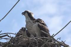 Osprey and Chick (BobD2011) Tags: bird raptor prey osprey pandionidae