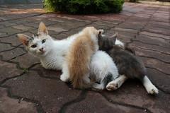 Mama cat 3 (chatvivant) Tags: cat mom kitties