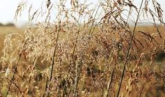 Morgen im Colsrak-Moor - taunasse Grser im Gegenlicht; Alte Sorge, Stapelholm (82) (Chironius) Tags: morning flower fleur grass germany deutschland dawn wasser blossom alba flor pantano erba amanecer peat swamp bottoms alemania grasses gras marsh moor bog fiore blte landschaft marais allemagne morgen germania ochtend schleswigholstein herbe sump matin gegenlicht  blten mattina aube grser ogie sumpf pomie morgendmmerung morgengrauen   gramines niemcy dageraad  tourbire   poales  stapelholm turbera  pomienie marcageuse commeliniden ssgrasartige szlezwigholsztyn colsrakmoor