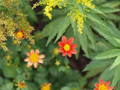 Mignon Single Dahlia (F. D. Richards) Tags: dahlia summer flower mi flickr clinton august tender tuber 2013 zone5 usamichigan 49236